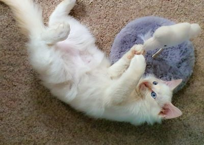 ragdoll kitten playing with his new toy