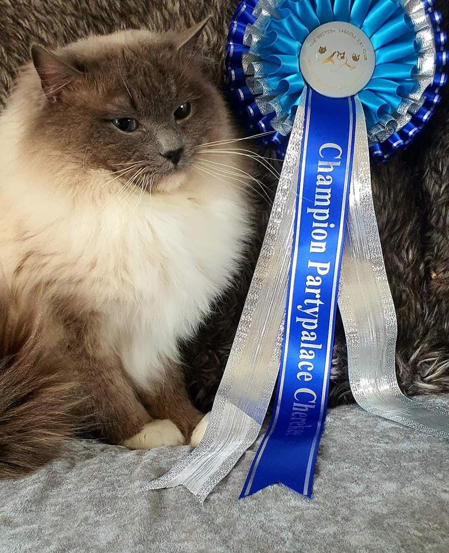 ragdoll cat laid