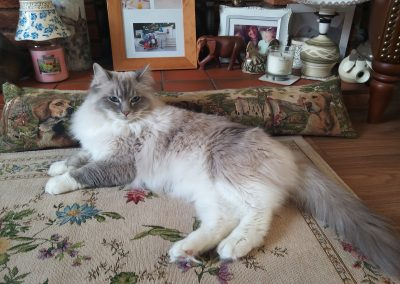 Grey and White Ragdoll laid on Pillow