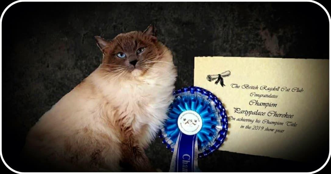 ragdoll with award