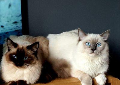 Ragdoll Siblings